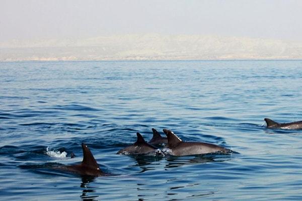 تماشای دلفین ها در جزیره هنگام
